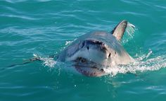 Great White Shark coming to get you: Great White Shark Tours