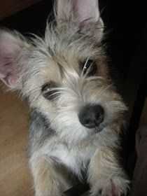 Mini schnauzer, cairn terrier mix with giant ears and inquisitive eyes