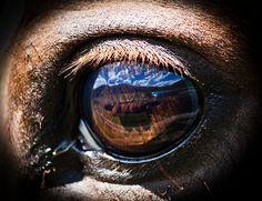 Horse eye reflection