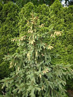 Świerk pospolity Acrocona Thuja Smaragd, Herbs, Plants, Herb, Plant, Planets, Medicinal Plants