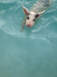 Swimming pigs exuma Bahamas