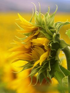 awesome, they turn their faces to the sun.  In Provence there are fields of sunflowers