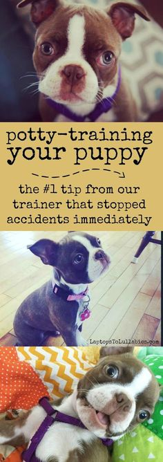Laptops to Lullabies: The best puppy potty-training advice you will ever hear