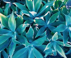 GROUPING OF DUSTY, MEDIUM BLUE-GREEN PLANTS. FROM THE JUNGALOW