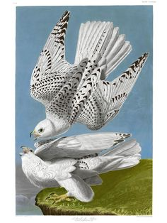 Iceland or Jer Falcon (1837). This dramatic image is a cornerstone to any serious collection of Birds of America prints. Unfortunately, all the originals are very poor echoes of what Audubon had in mind. A tragedy that this remastered print comprehensively addresses.