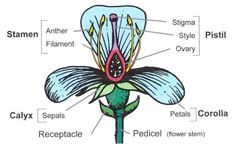 Flower Structure And Reproduction with Flower Structure And as well  likewise Flower Anatomy Activity Flower Dissection Lab Flower Anatomy further Plant reproduction likewise Flower structure and pollination also Flower Reproduction   YouTube furthermore Reproductive System Worksheets   Sanfranciscolife moreover Flower Anatomy Worksheet Answers The best worksheets image moreover Male Reproductive in Plants  Structure   Function   Study furthermore 184 Best Flower structure images   Gum paste flowers  Cold porcelain additionally  furthermore Life Cycle of Apple Trees   Apple Education   Apples and More besides Flower Dissection   6 Steps  with Pictures together with  additionally  besides Reproduction of Flowering Plants  From Flowers to Fruits. on flower structure and reproduction worksheet