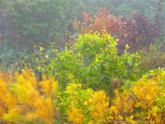 Amsonia hubrichtii (Arkansas Blue Star) with Clethra alnifolia (Summersweet), Physocarpus opulifolius (Ninebark) and Hamamelis x intermedia (Witch Hazel).  Garden Design/Photo: michaela @ thegardenerseden.com