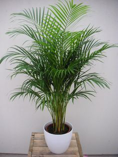 Areca lutescens  (Betelpalme)