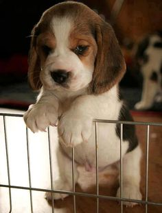 Baby beagle! look at that belly