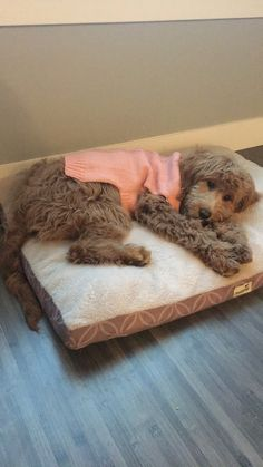 Animals And Pets, Baby Animals, Funny Animals, Cute Animals, Cute Puppies, Cute Dogs, Dogs And Puppies, Doggies, Doodle Baby