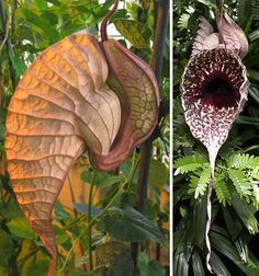 Pelican Flower (Aristolochia grandiflora) These flowers are almost beautiful in their strangeness, with big inflated chambers instead of petals and intricate, colorful patterns of veins. But don't get too close, or you won't be able to get the dead mouse smell out of your nose for hours. No, this plant isn't a carnivorous rat-eater like the Nepenthes attenboroughii – it just uses a decaying rodent smell to attract pollinators.