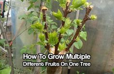 How To Grow Multiple Different Fruits On One Tree. one tree with 2, 3 or 4 different fruits growing from it! This is great for people with smaller gardens