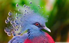 victoria_crowned_pigeon-wallpaper-1920x1200.jpg (1600×1000)