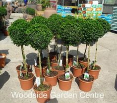 Large Buxus Topiary Standard Garden Plant | Woodside Garden Centre | Pots to Inspire