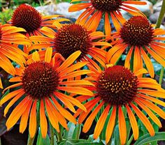 Echinacea Flame Thrower coneflower. With rays of blazing yellow-orange and a central cone of deep burnt amber, the vibrant colors of this fragrant Coneflower live up to its name. 'Flame Thrower' is an excellent choice for the middle of the border, blooming all summer long with a well-branched habit to complete the package. Love these!!
