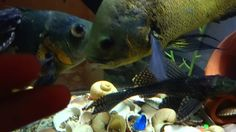 Mini Cat Fish play with the Big Oscar 🐠 🐠 🐠🐟🐟 HD Butterfly Swimming, Movies Quotes, Tank Wallpaper, Oscar Fish, Monterey Bay Aquarium, Largest Butterfly, Tanked Aquariums, Angel Fish, Cichlids