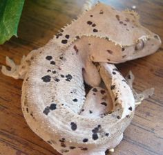 A Moonglow Super Dalmatian!! [Archive] - The Pangea Forums - Crested Geckos & More