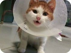 Detroit Lakes, MN - Domestic Shorthair. Meet Ginger a Cat for Adoption.