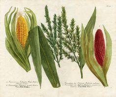 Corn illustration - circa 1731