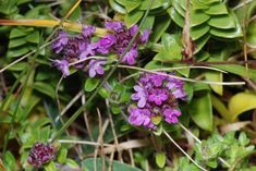 bakketimian – Store norske leksikon Plants, Flora, Plant, Planting