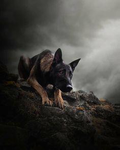 Rate this picture from 1 to Rate this picture from 1 to Berger Malinois, Belgian Malinois Dog, Malinois Puppies, Belgian Shepherd, German Shepherd Dogs, Pastor Belga Malinois, Guard Dog Breeds, Pet Dogs, Dog Cat