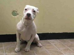 SAFE --- B A B Y - A L E R T - URGENT - Manhattan Center    ROXY - A0990833   FEMALE, WHITE / GRAY, PIT BULL MIX, 5 mos  OWNER SUR - EVALUATE, NO HOLD Reason PERS PROB   Intake condition NONE Intake Date 02/01/2014, From NY 10463, DueOut Date 02/01/2014 https://www.facebook.com/photo.php?fbid=750983904914491&set=pb.152876678058553.-2207520000.1391361846.&type=3&theater