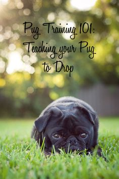 Pug Training 101: Teaching your Pug to Drop http://www.thepugdiary.com/pug-training-101-teaching-pug-drop/