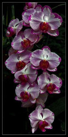 Exotic Flowers, Tropical Flowers, Orchid Varieties, Amaryllis, Plumeria Flowers, Orchids Garden, Red Peonies, Phalaenopsis Orchid, Orchidaceae