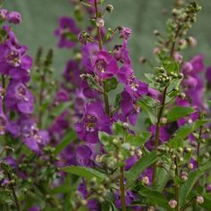 Angelface® Blue - Summer Snapdragon - Angelonia angustifolia - Have to get some of this. Beautiful and drought tolerant.