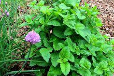 Medovka lekárska a jej 9 pozitívnych účinkov | Vitálne.sk Herbs, Gardening, Health, Plants, Health Care, Lawn And Garden, Herb, Plant, Planets