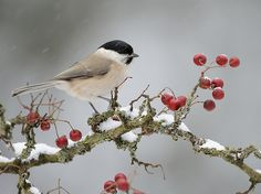Image detail for -berries, bird, pppp, red, snow, tree - inspiring picture on Favim.com