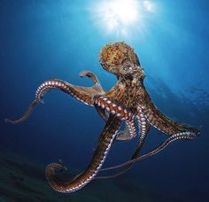 Octopus.                                                                                                                                                      More