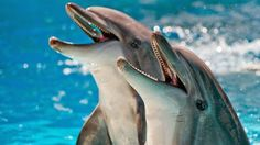 Dolphins are really smart aquatic mammals and so it's quite interesting to learn some rare facts about dolphins for kids. What makes them so interesting and set them apart from other marine animals is their unique behavior. Dolphins For Kids, Dolphin Facts, Bottlenose Dolphin, Power Animal, Wale, Animal Facts, Funny Animal, Sea Creatures, Strange Creatures