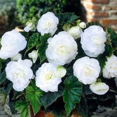 Begonia (Begonia Tuberosa Double White) - Begonia Tuberosa is such a versatile plant and a great performer! It can be grown from Begonia seeds, and forms a small compact plant that gives a wonderful d Rare Flowers, White Flowers, Beautiful Flowers, White Perennial Flowers, Shade Garden, Garden Plants, Indoor Plants, Moon Garden, Dream Garden