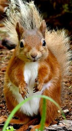 Squirrel love nuts so much. In case you live close to a nut tree, there is a chance that you can spot a squirrel running around carrying a nut. Animals And Pets, Baby Animals, Funny Animals, Cute Animals, Wild Animals, Cute Squirrel, Baby Squirrel, Squirrel Pictures, Animal Pictures