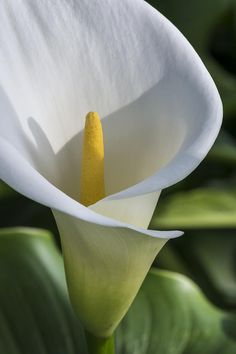 Flower Photograph - Calla Lily by Bruce Frye