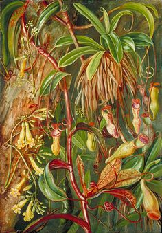 Nepenthes in the Seychelles