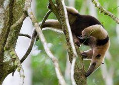 Le tamandua du Mexique est un fourmilier plus petit que le fourmilier géant.