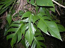Epipremnum aureum - Wikipedia, the free encyclopedia