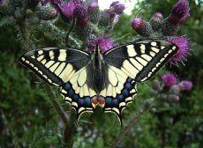 Nederland kiest koninginnenpage tot de meest favoriete vlinder van het land. Toeval, zo net voor de kroning van Willem. Vast niet.
