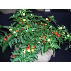 Holiday Cheer Chilli Pepper - Stunning ornamental plant :) great for growing indoors for a bit of colour...