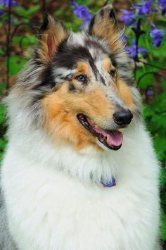 "justbelieve2him: "" Collie dog ……just plain fun. "": Dogs, Rough Collie, Pet, Collie Dog, Blue Merle, Sheltie, Animal"