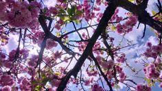 kiss me under the cherry tree.