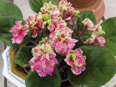 This is very pretty fluffy African Violet named Mermaid's Kiss, that I purchased recently at the Florida State Fair in Tampa.  It is ruffled and has lovely pink and green flowers.