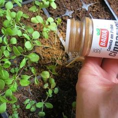 Sprinkle cinnamon on the soil after seeds are planted or when fungus or mold is detected on the seedling or plant to kill the fungus or mold.