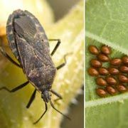 Squash Bug. Good list of garden bugs.