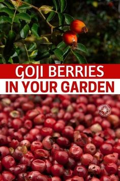 Goji Berries in your Garden