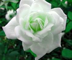 Items similar to Rare Hybrid White Rose with Green Heart Flower Plant 50 Seeds Pack Light Fragrant flowers rare plants roses on Etsy Red Rose Flower, Beautiful Rose Flowers, Rare Flowers, Green Rose, Exotic Flowers, Heart Flower, Purple Flowers, Comment Planter Des Roses, Chlorophytum