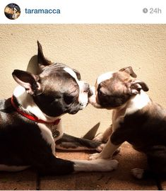 Boston terrier mommy and puppy kisses