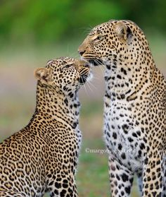 Leopard Love! Check out this exquisite capture by #RememberingBooks founder, #wildographydudette @margotraggettphotography. Do give this incredible star an instafollow & support the incredible work she's doing for wildlife with...